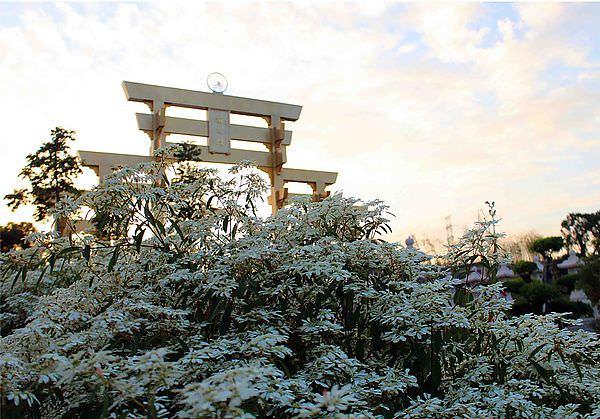 【南投.易經大學】下雪了!北國情調拍到手軟~聖誕初雪盛開如降雪,讓人好著迷.白雪木